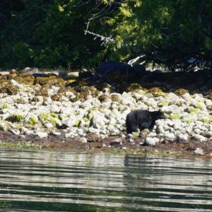 black-bear_dsc00197_1