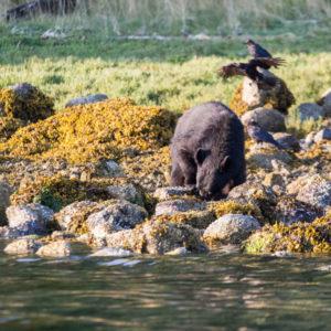black-bears-0165_1